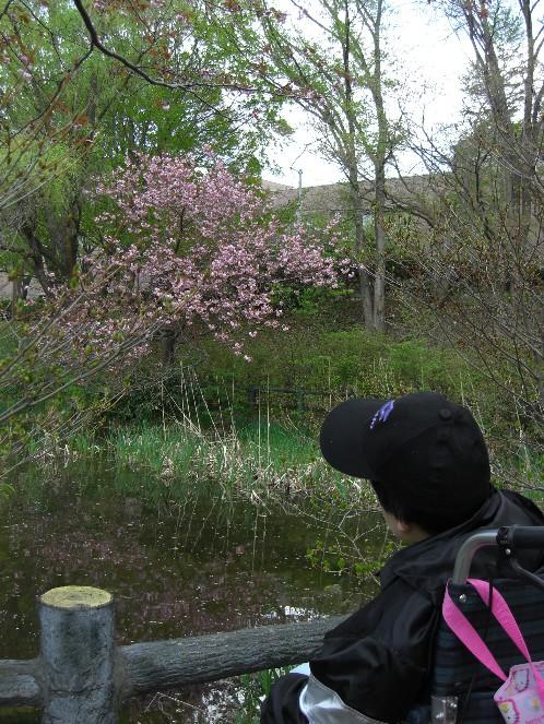 いつまでも咲いていて桜.jpg