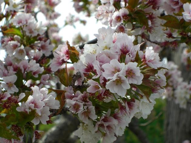 やっぱり桜が好き.jpg