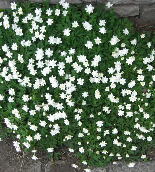 五月の花 白2.jpg