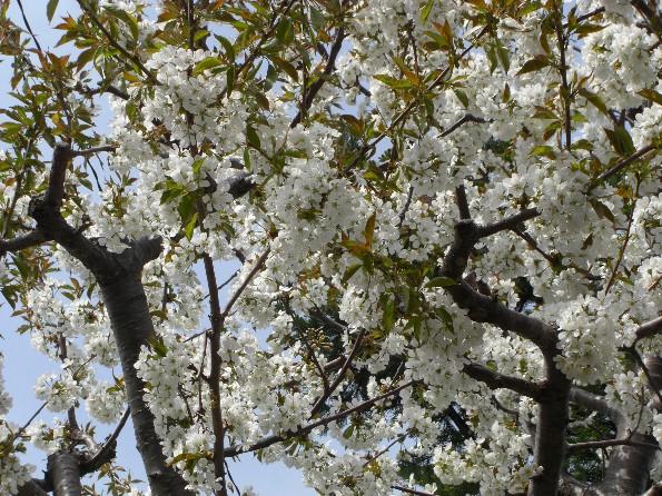 五月の花 白桜.jpg