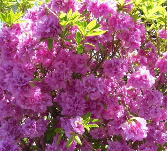 散歩道の花.jpg