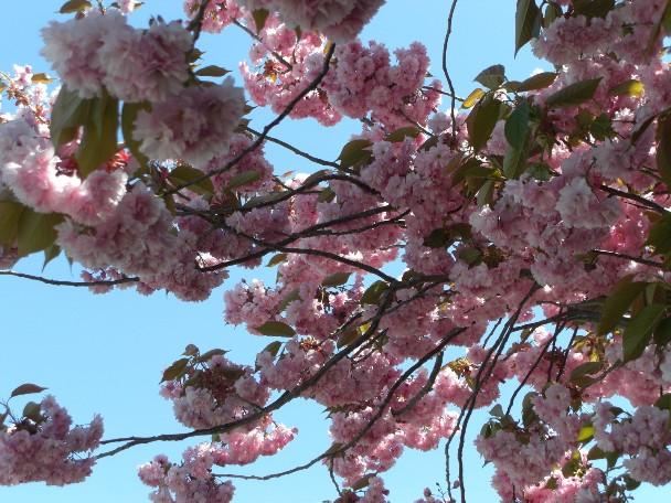 札幌はまだ桜の季節.jpg